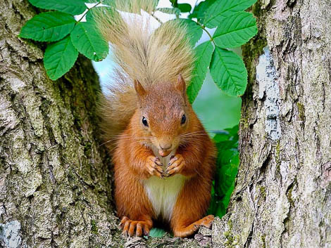 Red Squirrel within v of tree branches