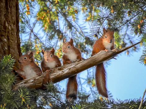 Family of 4 Red Squirrels side by side on a branch