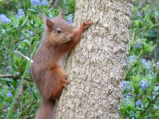 Red Squirrel climbing up tree