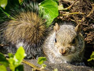 Grey Squirrel in foliage