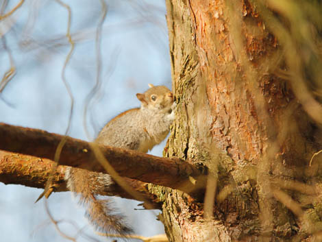 Grey Squirrel stripping bark from tree
