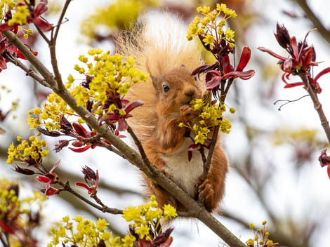 Red Squirrel in Autumn Tree