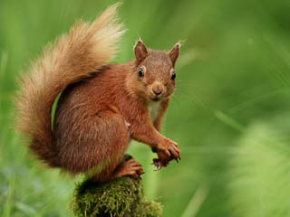 Red Squirrel on moss looking at camera