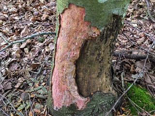 Tree with bark stripped by Grey Squirrel