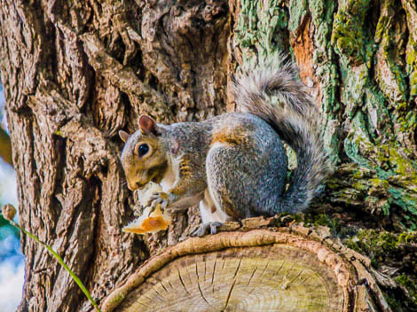 Squirrel eating acorn on tree