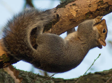Grey Squirrel upside down on branch
