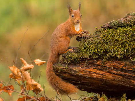 Red Squirrel standing on edge of tree stump