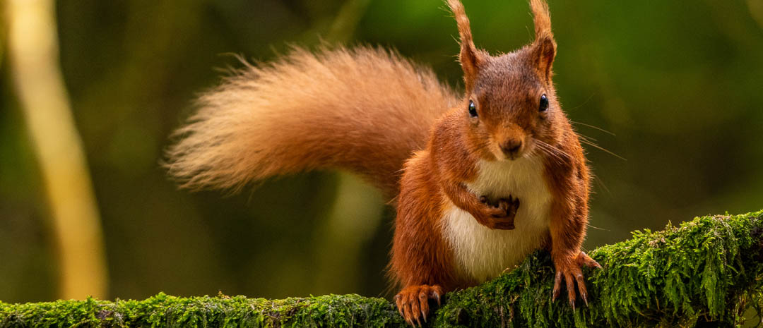 Close up of Red Squirrel on moss covered branch