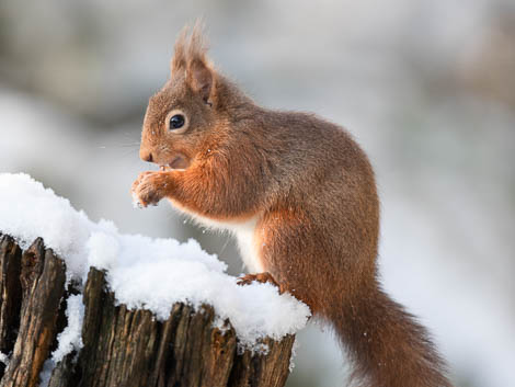 Red Squirrel on snow capped tree trunk