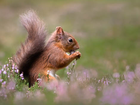 Close up of Red Squirrel eating in Summer Meadow