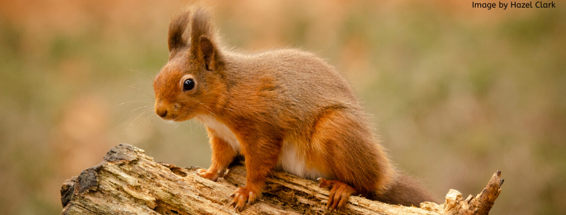 UK Squirrel Accord