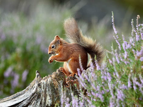 Red Squirrel next to tree trunk in summer meadow